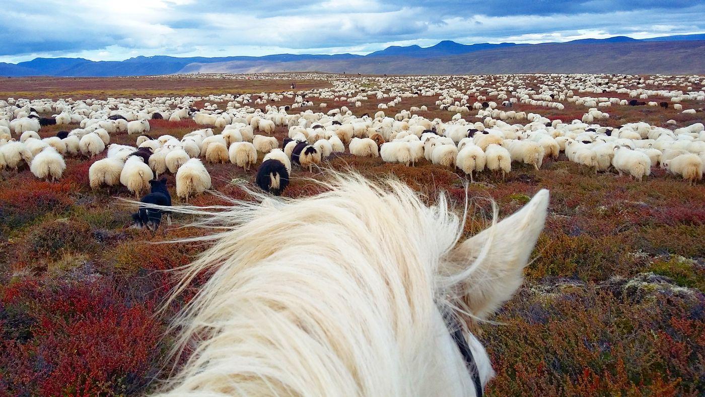 Sheep Round-Up Melrakkasletta itinerary.